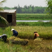 Rice harvesting in the countryside north of Hoi An