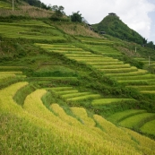 Rice Paddies between Cat Cat Village and Sapa