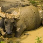 Water buffalo cooling off near Ta Van Village