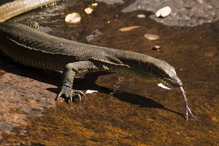 Water monitor at Barnett River Gorge