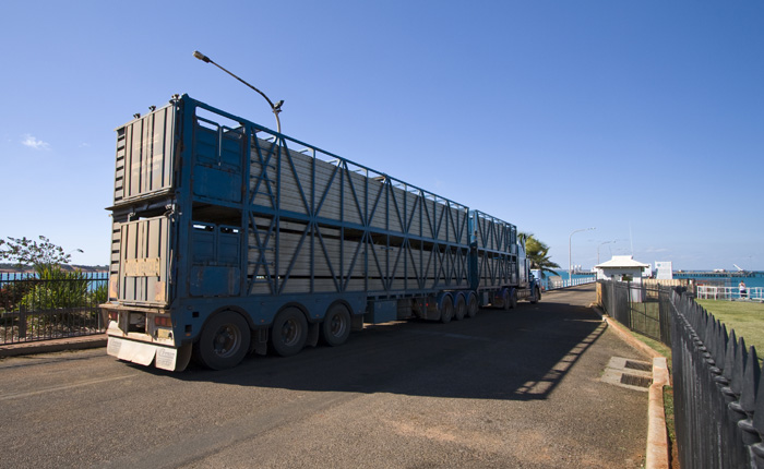 Live cattle on their way to Asia at the Port of Broome
