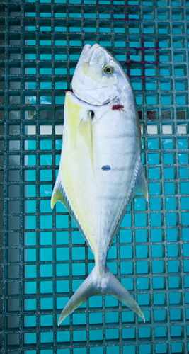 A two foot long Golden Trevally on the jetty at the Port of Broome