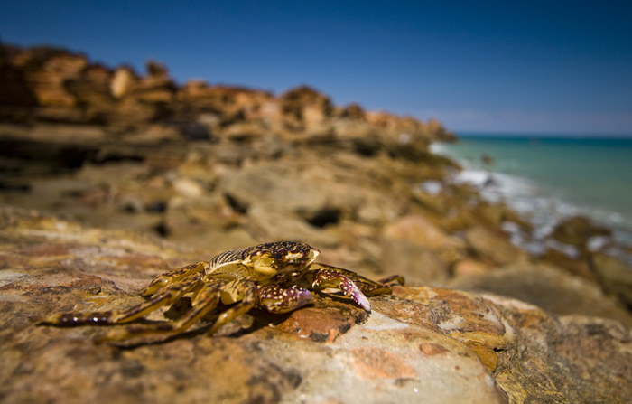 A crab on the rocks at Gantheaume Point