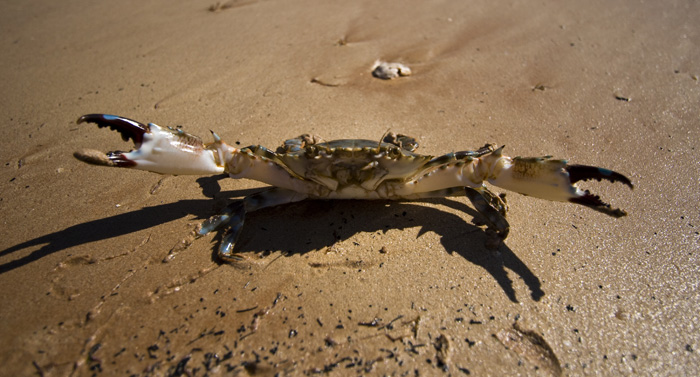 An angry mud crab at James Price Point