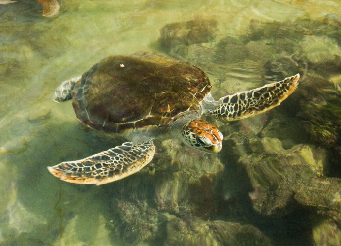 A rescued turtle at the hatchery at One Arm Point