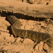 A two metre long Black-Headed Python alongside the road