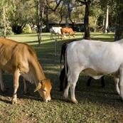 Cows in the El Questro Township campsite