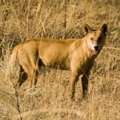 A dingo near the turnoff to Kalumburu
