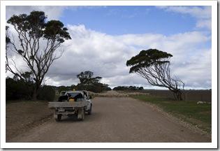 Ian Brown moving sheep between paddocks on Yorke Peninsula