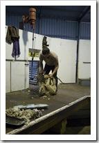Shearing at the Brown's farm