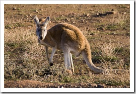An inquisitive kangaroo on the road between Brachina Gorge and Blinman