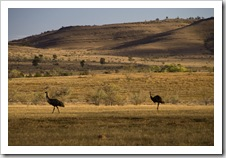 Emus alongside the road between Brachina Gorge and Blinman
