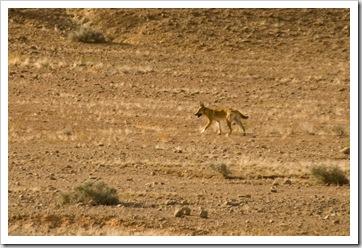 A dingo on the way into Dalhousie Springs