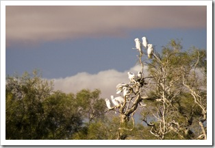 Sulphur-crested cockatoos in the wetlands around Dalhousie Springs
