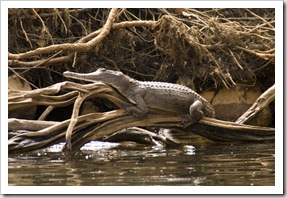 A female freshwater crocodile enjoying the sun in Katherine Gorge's first gorge