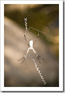 An orb spider at Leliyn's upper falls