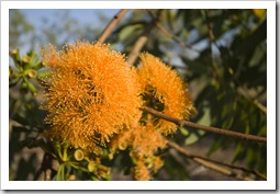Blooming gum nuts on the walk to Gubara Pools