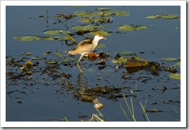 A juvenile Jacana at Yellow Waters