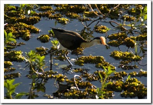 A Jacana at Yellow Waters
