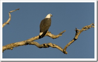 A White-Breasted Sea Eagle at Yellow Waters