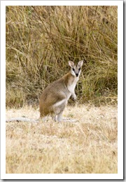 A morning visitor to our campsite at Victoria River Roadhouse