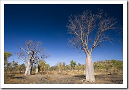 Boab trees along the Bullita Stock Route in Gregory National Park