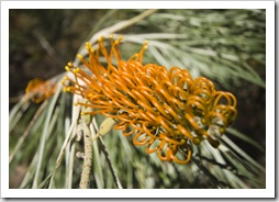 A desert grevillea on the Jarnem loop walk in Keep River National Park