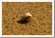 A hermit crab on the beach at Mandorah