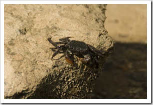 A mud crab on the beach at Mandorah