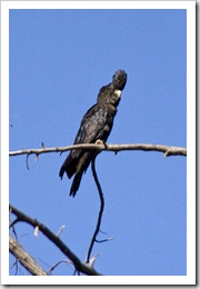 A Red-Tailed Black Cockatoo at Galvans Gorge