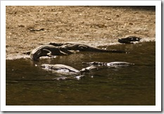 Freshwater Crocodiles in Windjana Gorge