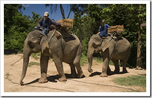 Two of the elephants come to pick us up