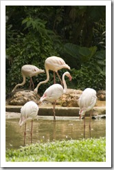 The Singapore Zoo: Flamingos