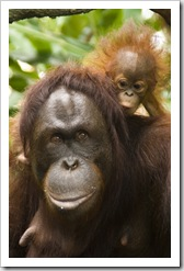 The Singapore Zoo: Orangutan mother and baby