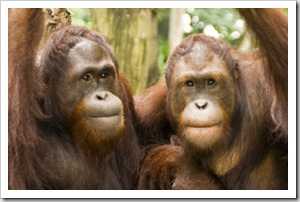 The Singapore Zoo: Orangutans