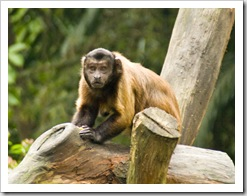 The Singapore Zoo: Capuchin Monkey