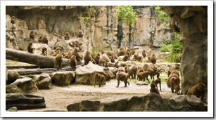 The Singapore Zoo: Hamadryas Baboons