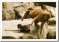 The Singapore Zoo: a mother lets a baby Hamadryas Baboon know which way its going