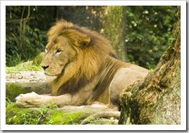 The Singapore Zoo: Lion