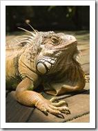 The Singapore Zoo: Iguana