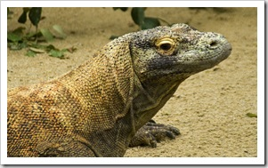 The Singapore Zoo: Komodo Dragon