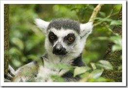 The Singapore Zoo: Lemur