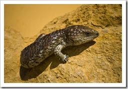 A Shingleback Lizard in The Pinnacles Desert in Nambung National Park