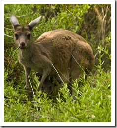 An inquisitive mother and her joey at our Conto campground