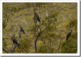 White-Tailed Black Cockatoos in Stirling Range National Park