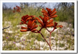 Kangaroo Paw in Fitzgerald River National Park