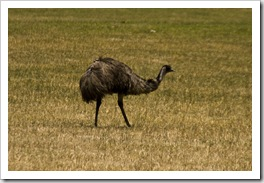 One of the many Emus in Cape Le Grand Naitonal Park