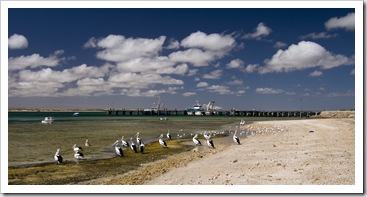 Pelicans in front of the Venus Bay jetty