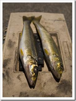 Yellowfin Whiting at Seacliff