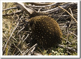 A baby Echidna (called a 'puggles') near The Apostles along the Great Ocean Road